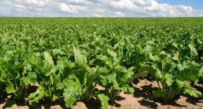 Сахарные поля - бизнес на свекле