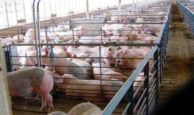 Бизнес план фермерского хозяйства – свинофермы